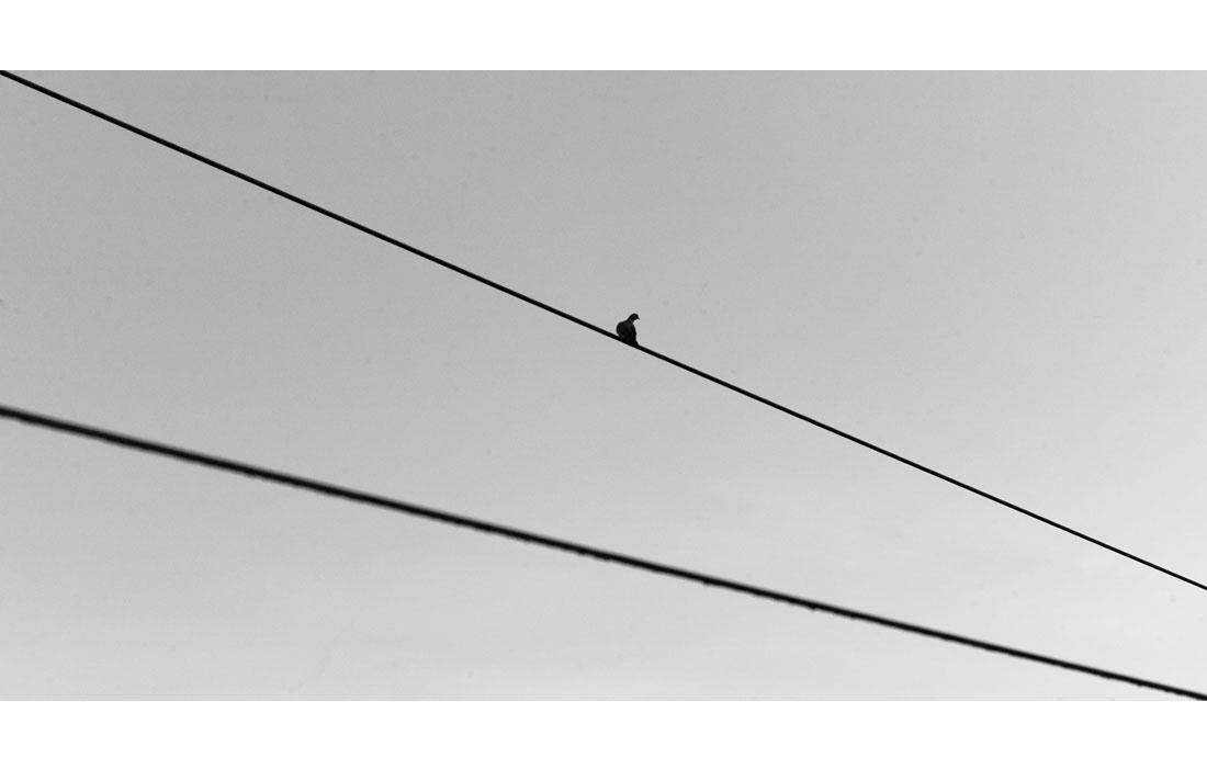 animal-pigeon-0151