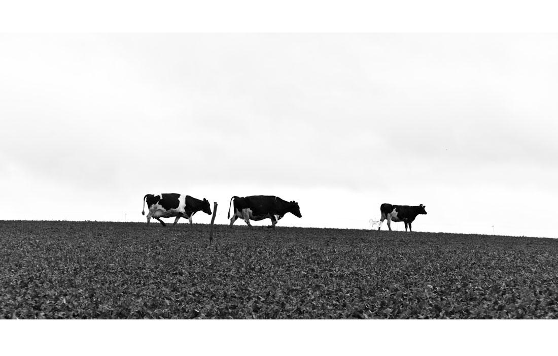 animal-vache-021