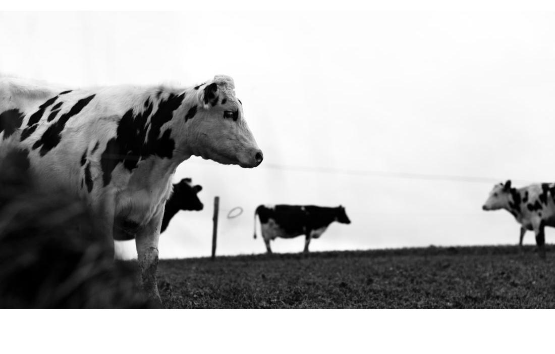 animal-vache-031