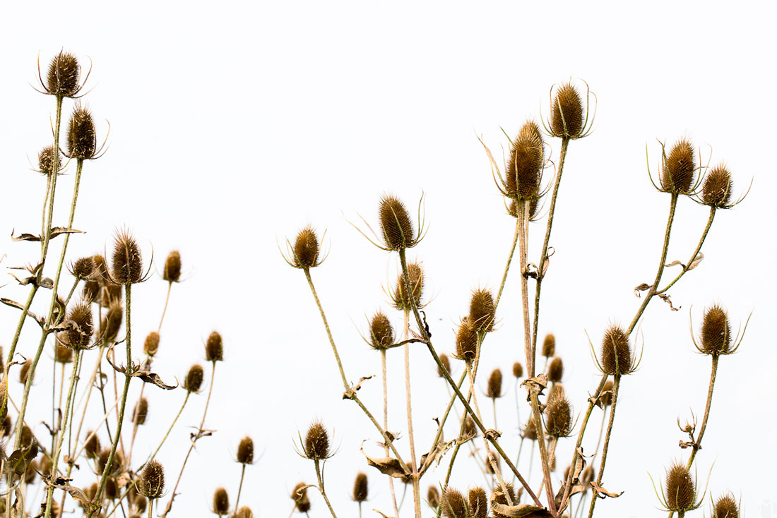 paysage-chardons-08